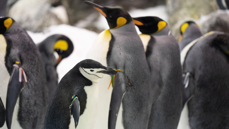 Atlantik, Teneriffa, La Orotava, Loro Parque, Pinguin-Zucht