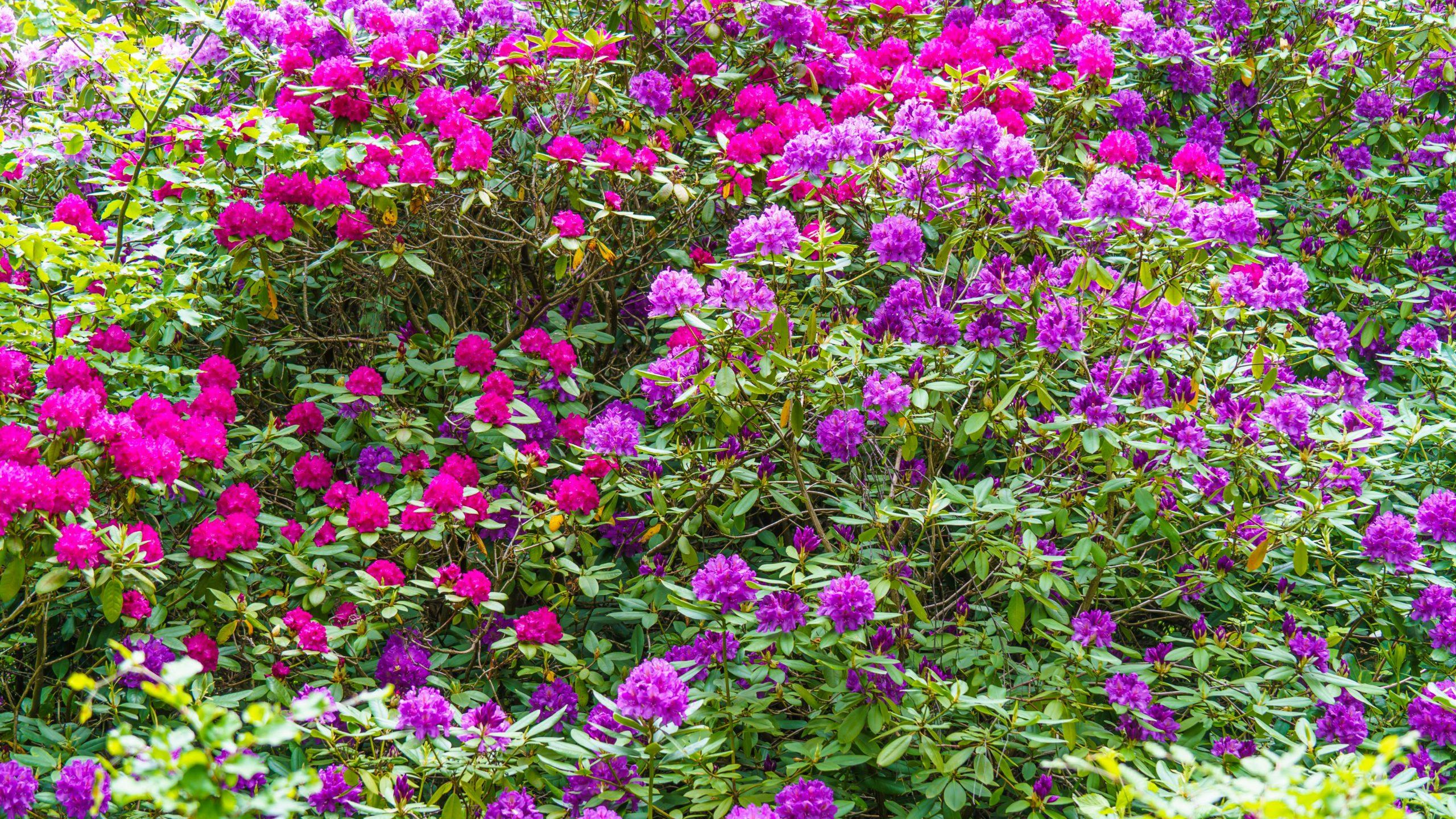 Grenzweg Gerstunger Forst, Rhododendron-Pflanze an der Erbbegräbnis-Stätte nahe Grenzweg