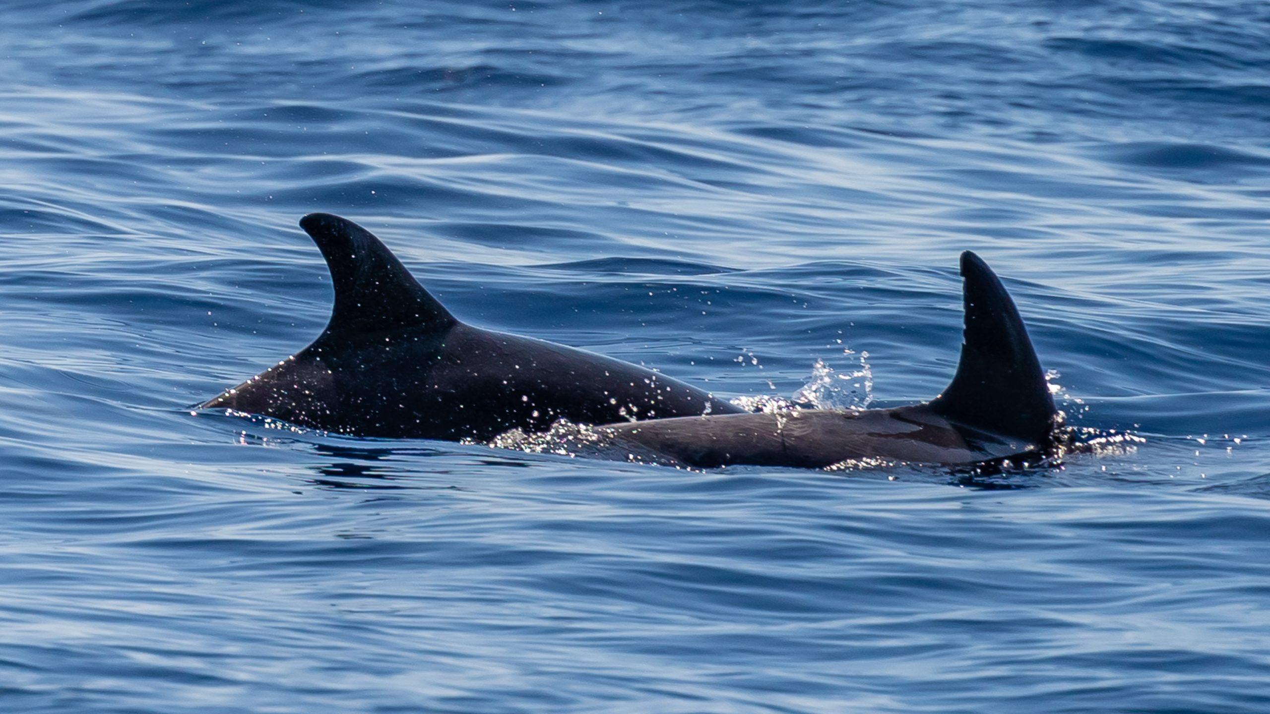 Atlantik, Teneriffa, vor Los Gigantes, Delfine