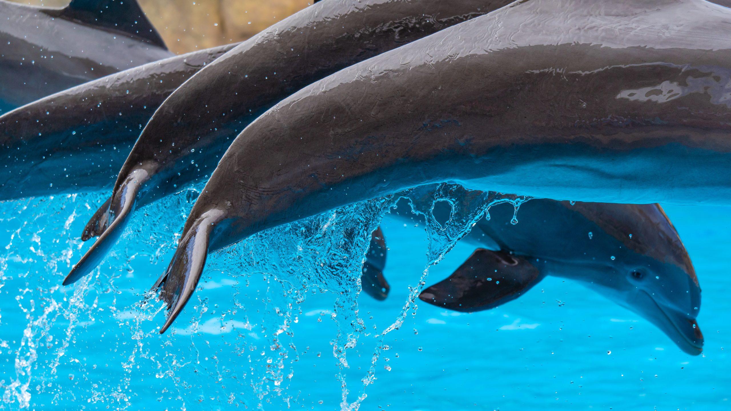 Atlantik, Teneriffa, La Orotava, Loro Parque, Delfine