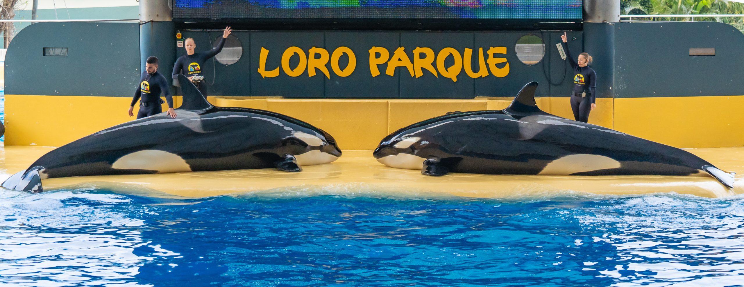 Atlantik, Teneriffa, La Orotava, im Loro Parque, Orca-Zucht (Killerwale)