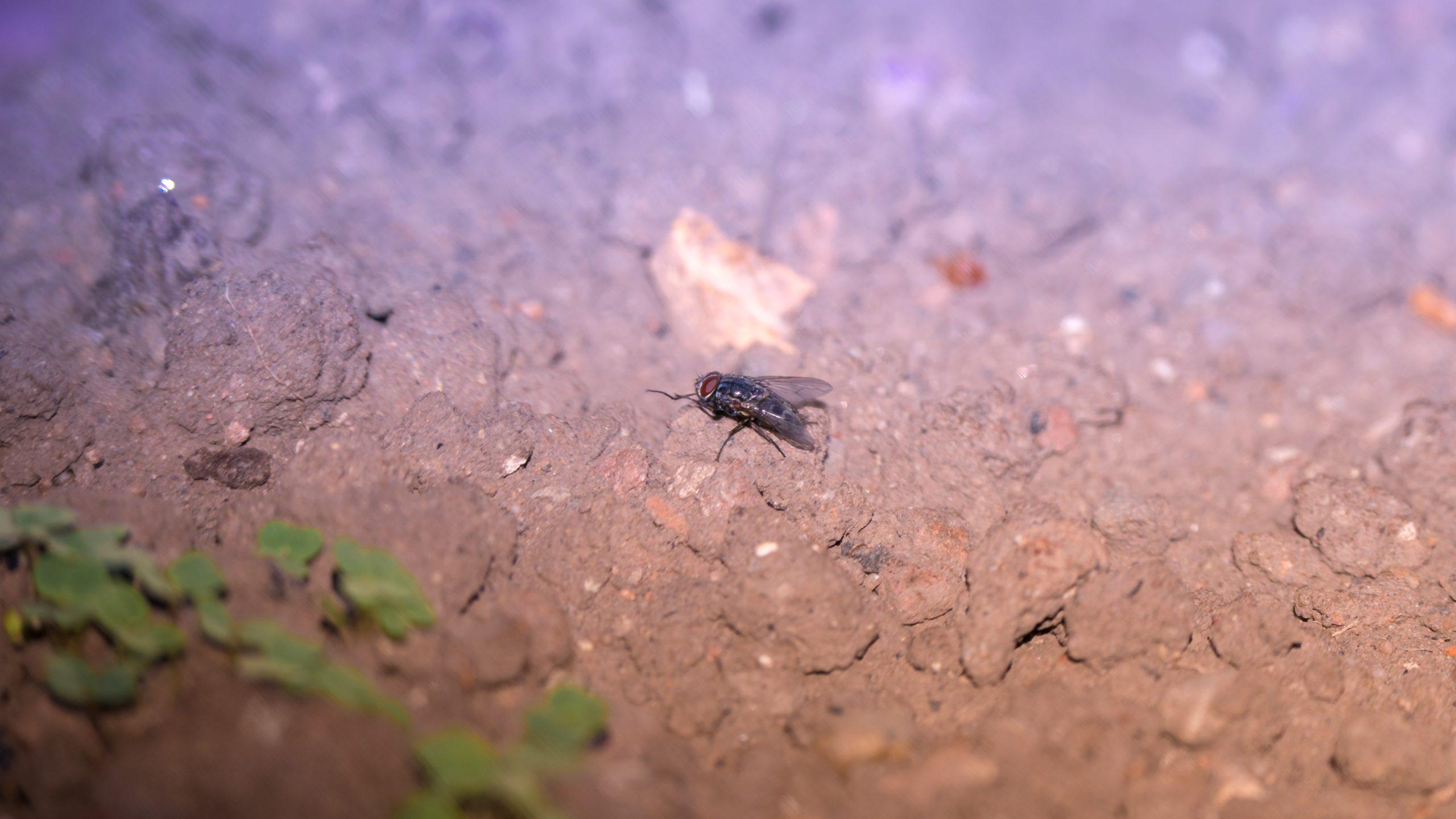 Frühling, Fliege