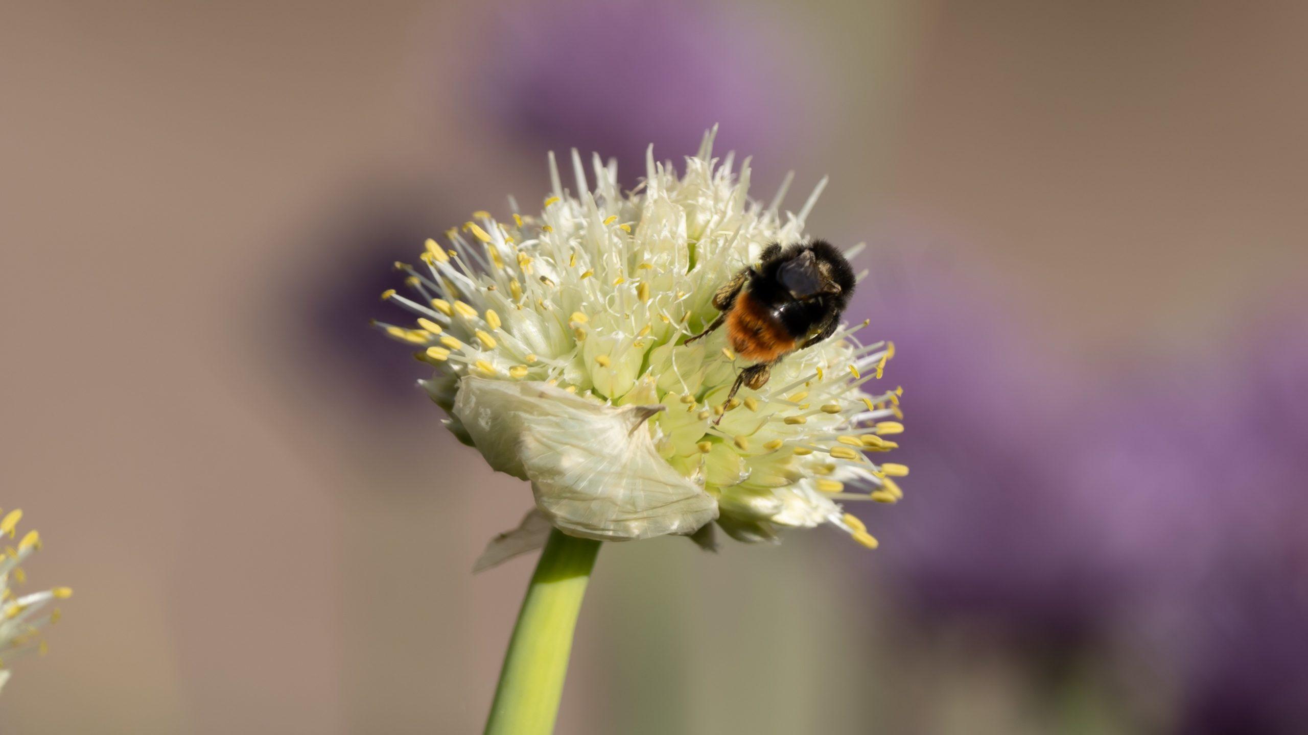 Frühling, Hummel