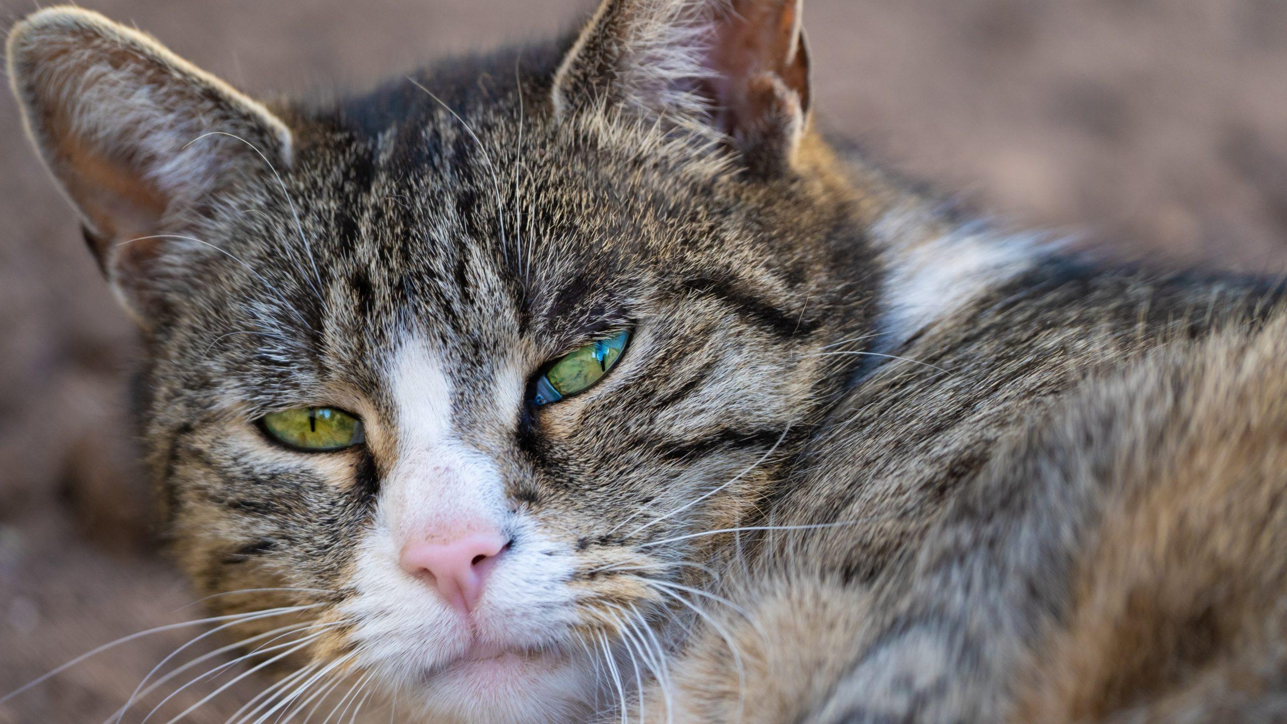 Katze Piri