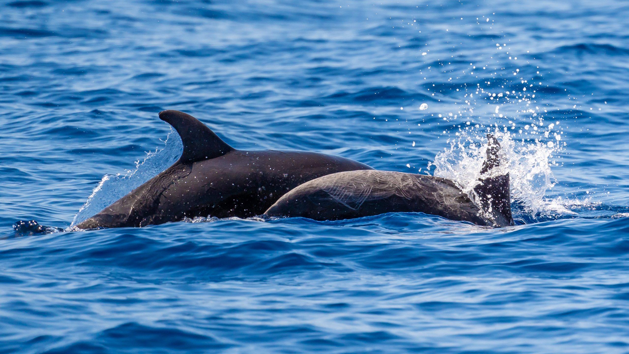 Atlantik, Teneriffa, Delfine vor Los Gigantes