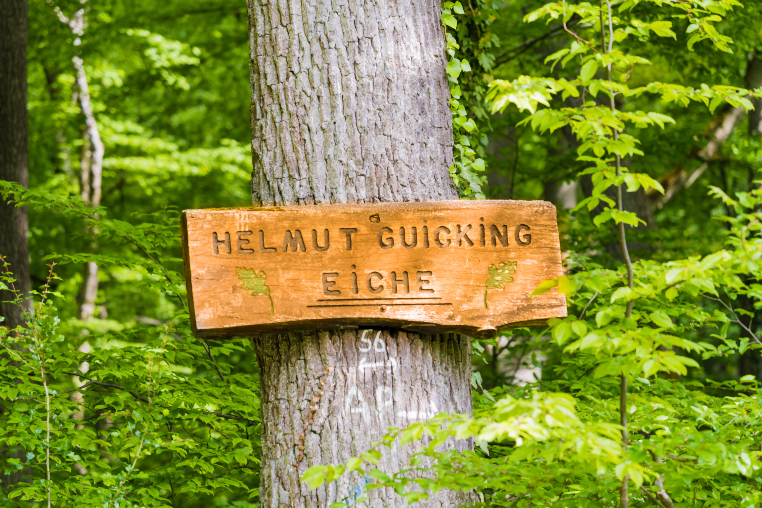 Helmut Guicking Eiche nahe dem Rittergut Wanfried